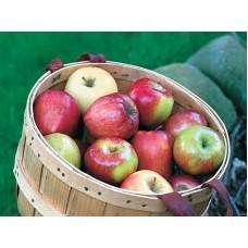 Organik Kış Elması